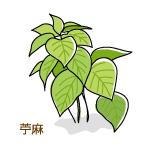 苧麻のイラスト